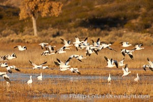 A flock of snow geese in flight. Bosque Del Apache, Socorro, New Mexico, USA, Chen caerulescens, natural history stock photograph, photo id 26206