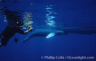 Humpback whale, abandoned calf alongside UH research boat, UH research diver visible, Megaptera novaeangliae, Maui