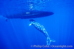 Humpback whale, abandoned calf alongside HWRF research boat, Megaptera novaeangliae, Maui