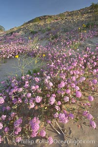 Sand verbena carpets sand dunes and washes in Anza Borrego Desert State Park.  Sand verbena blooms throughout the Colorado Desert following rainy winters, Abronia villosa, Anza-Borrego Desert State Park