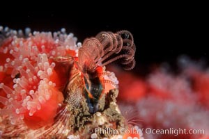 Acorn barnacle feeding amidst strawberry anemones, Monterey Peninsula. Monterey, California, USA, Megabalanus californicus, Corynactis californica, natural history stock photograph, photo id 05395