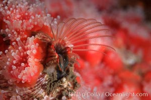 Acorn barnacle feeding amidst strawberry anemones, Monterey Peninsula, Megabalanus californicus, Corynactis californica