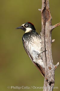 Acorn woodpecker, female, Melanerpes formicivorus, Madera Canyon Recreation Area, Green Valley, Arizona