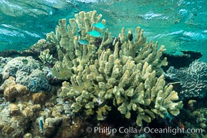 Acropora sp. hard coral on South Pacific coral reef, Fiji