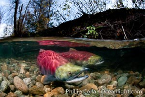 A sockeye salmon swims in the shallows of the Adams River, with the surrounding forest visible in this split-level over-under photograph, Oncorhynchus nerka, Roderick Haig-Brown Provincial Park, British Columbia, Canada