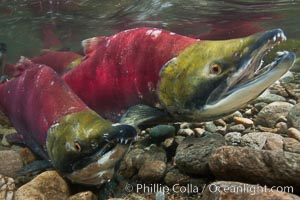 Two male sockeye salmon, swimming together against the current of the Adams River.  After four years of life and two migrations of the Fraser and Adams Rivers, they will soon fertilize a female's eggs and then die, Oncorhynchus nerka, Roderick Haig-Brown Provincial Park, British Columbia, Canada