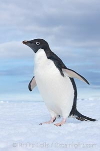 A curious Adelie penguin, standing at the edge of an iceberg, looks over the photographer, Pygoscelis adeliae, Paulet Island