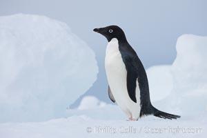 Adelie penguin, standing on a white iceberg, Pygoscelis adeliae, Paulet Island