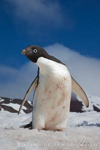 A curious Adelie penguin, standing on snow, inspects the photographer, Pygoscelis adeliae, Paulet Island