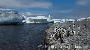 Adelie penguins walk along the edge of the sea, before leaving en masse to forage for food, Pygoscelis adeliae, Paulet Island