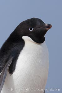 Adelie penguin, portrait showing beak and eye, Pygoscelis adeliae, Paulet Island