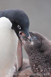Adelie penguin, adult feeding chick by regurgitating partially digested food into the chick&#39;s mouth.  The pink food bolus, probably consisting of krill and marine invertebrates, can be seen being between the adult and chick&#39;s beaks, Pygoscelis adeliae, Shingle Cove, Coronation Island, South Orkney Islands, Southern Ocean