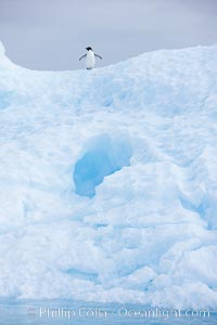 A tiny Adelie penguins stands atop an iceberg, Pygoscelis adeliae, Paulet Island