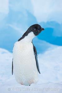 Adelie penguin, standing on a white iceberg, Pygoscelis adeliae, Paulet Island