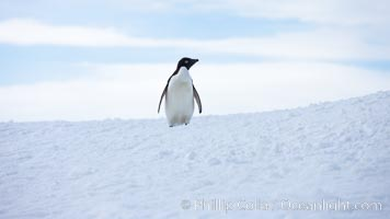 Adelie penguin, standing all alone on a big iceberg, Pygoscelis adeliae, Paulet Island