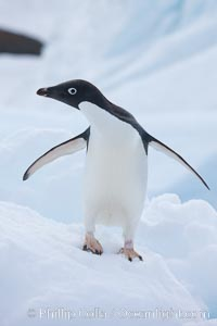 Adelie penguin, Pygoscelis adeliae, Paulet Island