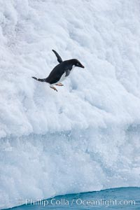 Adelie penguin leaping off an iceberg into the ocean, Pygoscelis adeliae, Paulet Island