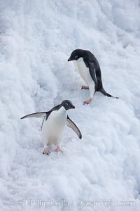 Adelie penguins, Pygoscelis adeliae, Paulet Island