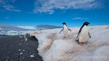 Adelie penguins navigate a well-worn path in the snow above a cobblestone beach, Pygoscelis adeliae, Paulet Island