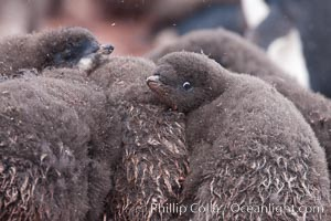Adelie penguin chicks, huddle together in a snowstorm for warmth and protection.  This group of chicks is known as a creche, Pygoscelis adeliae, Shingle Cove, Coronation Island, South Orkney Islands, Southern Ocean