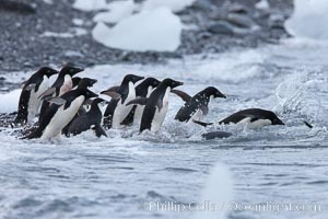 Adelie penguins rush into the water en masse, from the cobblestone beach at Shingle Cove on Coronation Island, Pygoscelis adeliae