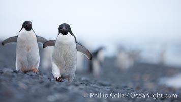 Adelie penguins walking on a stone beach, Pygoscelis adeliae, Brown Bluff