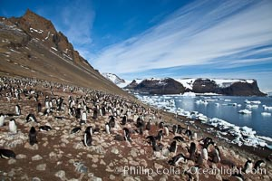 Adelie penguins at the nest, part of the large nesting colony of penguins that resides along the lower slopes of Devil Island, Pygoscelis adeliae