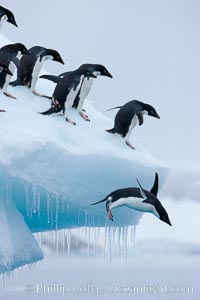 Adelie penguins leaping into the ocean from an iceberg, Pygoscelis adeliae, Brown Bluff