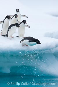 Adelie penguins leaping into the ocean from an iceberg. Brown Bluff, Antarctic Peninsula, Antarctica