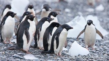 Adelie penguins, Shingle Cove, Coronation Island, South Orkney Islands, Pygoscelis adeliae