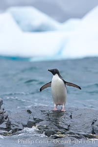 Adelie penguin stands on rocky shore, icebergs in the background, Shingle Cove, Pygoscelis adeliae, Coronation Island, South Orkney Islands, Southern Ocean