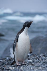 Adelie penguin on cobblestone beach, Shingle Cove, Pygoscelis adeliae, Coronation Island, South Orkney Islands, Southern Ocean