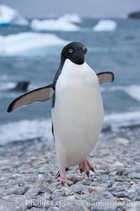 Adelie penguin on cobblestone beach, Shingle Cove, Pygoscelis adeliae, Coronation Island, South Orkney Islands, Southern Ocean