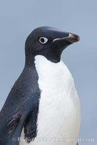 Adelie penguin, portrait showing beak and eye, Pygoscelis adeliae, Shingle Cove, Coronation Island, South Orkney Islands, Southern Ocean