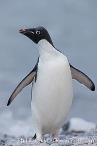 Adelie penguin on beach, wings out, Pygoscelis adeliae, Shingle Cove, Coronation Island, South Orkney Islands, Southern Ocean