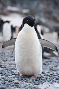 Adelie penguin, standing on cobblestone beach, Pygoscelis adeliae, Shingle Cove, Coronation Island, South Orkney Islands, Southern Ocean