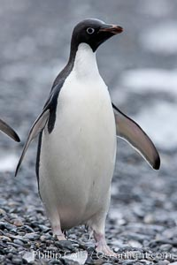 Adelie penguin, standing on cobblestone beach, Pygoscelis adeliae, Shingle Cove, Coronation Island, South Orkney Islands, Southern Ocean