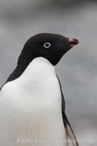 Adelie penguin, head portrait, Pygoscelis adeliae, Shingle Cove, Coronation Island, South Orkney Islands, Southern Ocean