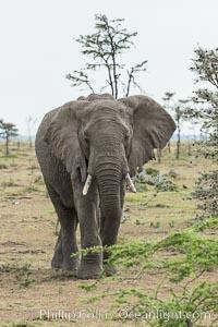 African elephant, Loxodonta africana, Olare Orok Conservancy