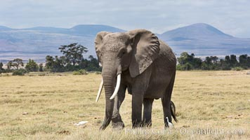 African elephant, Amboseli National Park, Kenya. Amboseli National Park, Kenya, Loxodonta africana, natural history stock photograph, photo id 29504