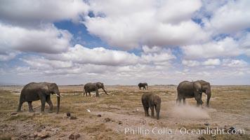African elephant, Amboseli National Park, Kenya, Loxodonta africana