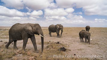 African elephant, Amboseli National Park, Kenya. Amboseli National Park, Kenya, Loxodonta africana, natural history stock photograph, photo id 29577