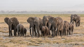 African elephant herd, Amboseli National Park, Kenya. Amboseli National Park, Kenya, Loxodonta africana, natural history stock photograph, photo id 29533