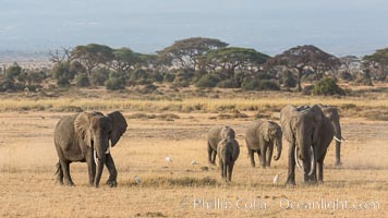 African elephant herd, Amboseli National Park, Kenya. Amboseli National Park, Kenya, Loxodonta africana, natural history stock photograph, photo id 29604