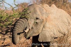 African elephant eating acacia, Meru National Park, Kenya. Meru National Park, Kenya, Loxodonta africana, natural history stock photograph, photo id 29652