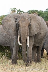 African elephant, Meru National Park, Kenya, Loxodonta africana