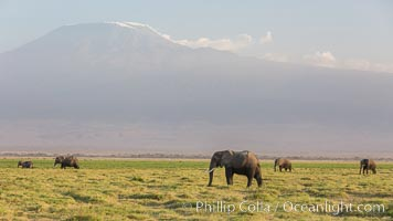 African elephants below Mount Kilimanjaro, Amboseli National Park, Kenya. Amboseli National Park, Kenya, Loxodonta africana, natural history stock photograph, photo id 29525