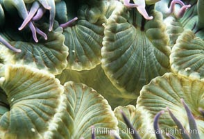 Aggregating anemone detail. San Miguel Island, California, USA, Anthopleura elegantissima, natural history stock photograph, photo id 00290