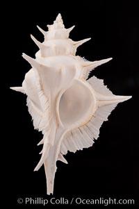 Alabaster Murex, Siratus alabaster
