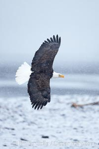Bald eagle in flight, snow falling, overcast sky, snow covered beach and Kachemak Bay in the background, Haliaeetus leucocephalus, Haliaeetus leucocephalus washingtoniensis, Homer, Alaska